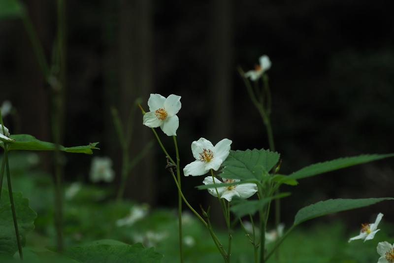 shirayukigeshi04.jpg