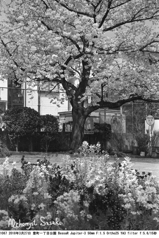 戸越の桜1067-27