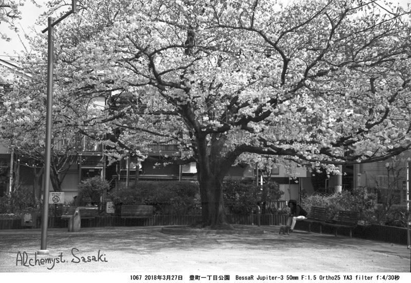 戸越の桜1067-30