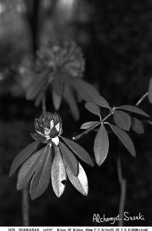 石楠花1076-36