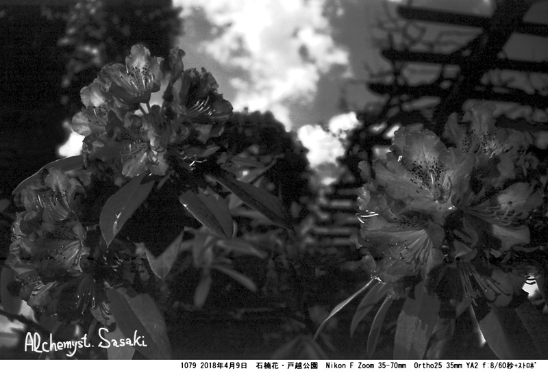 石楠花1079-23