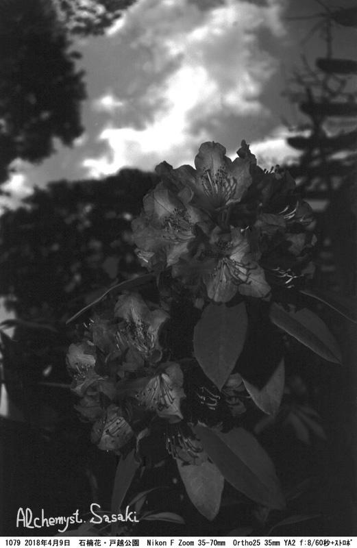 石楠花1079-25