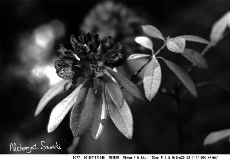 石楠花1077-#1-13a