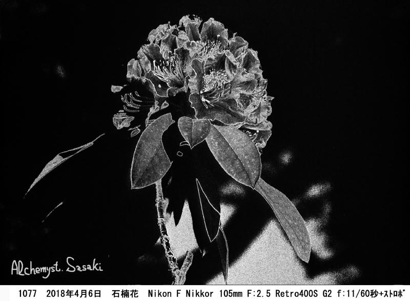 石楠花1077-#2-23a Posi