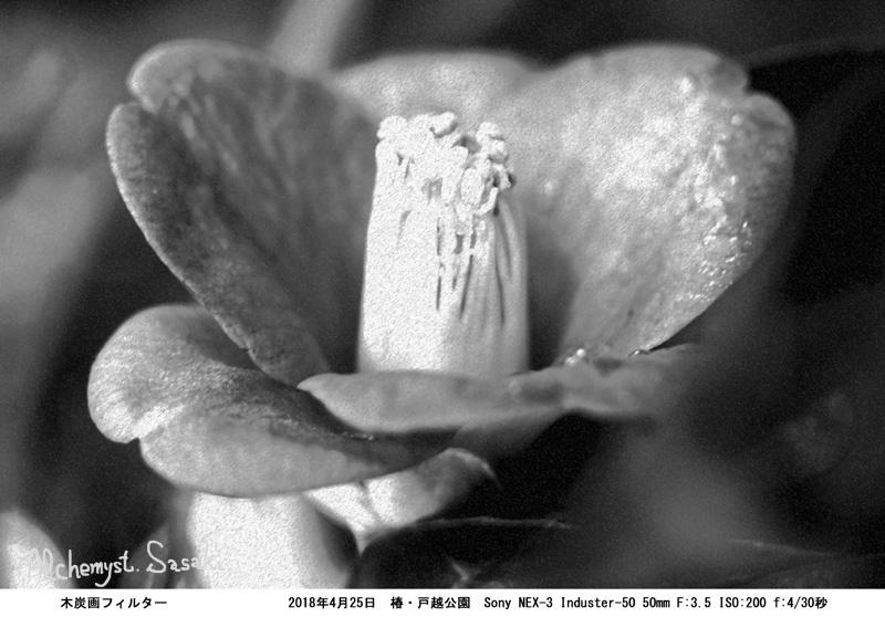 椿BWDSC04665 木炭画