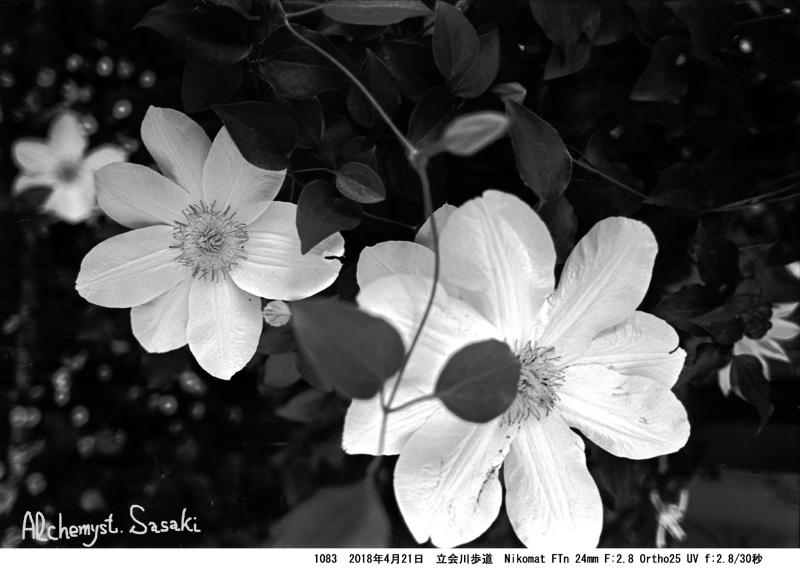 立会川歩道の春の花1083-23