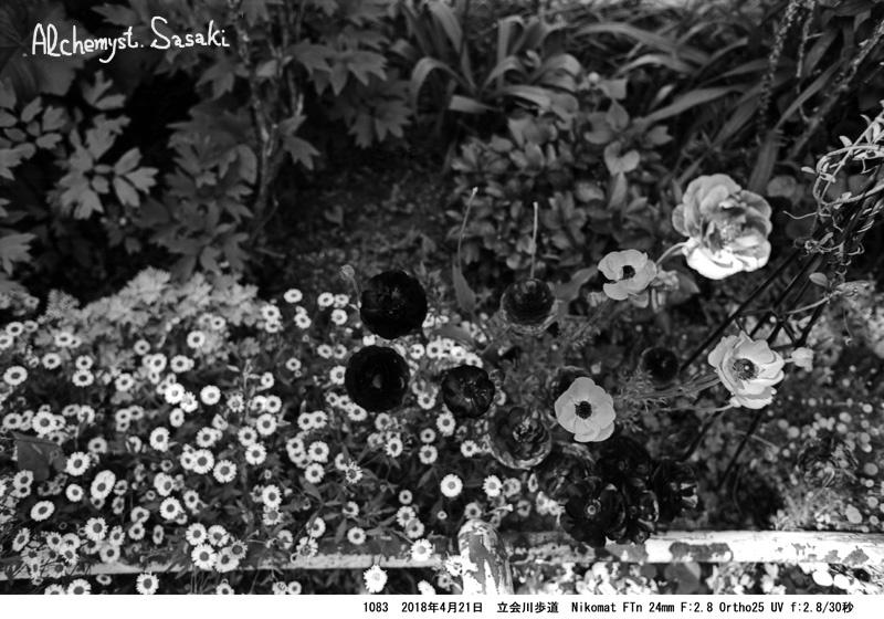 立会川歩道の春の花1083-27