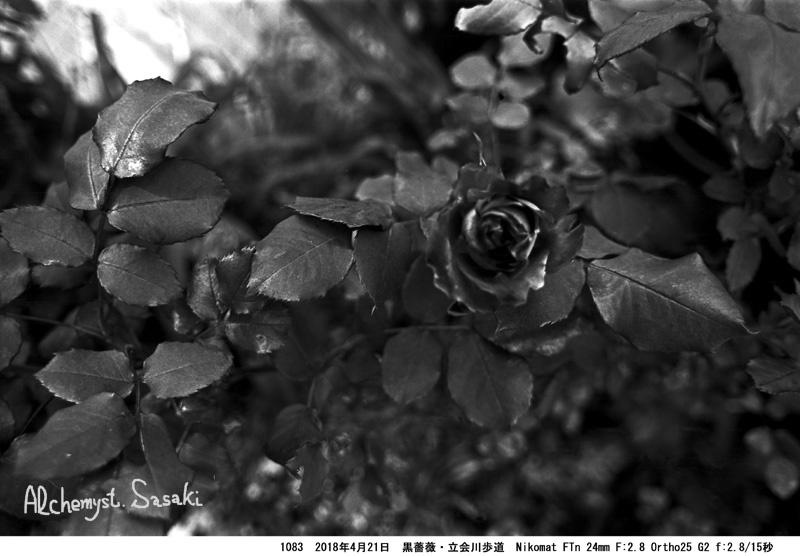 立会川歩道の春の花1083-31