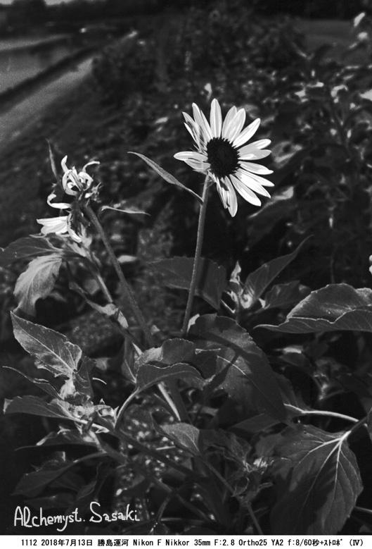 向日葵1112-55a
