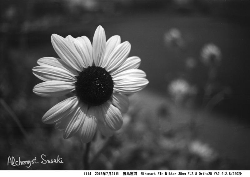 向日葵1114-20