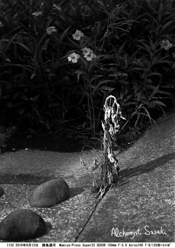 勝島運河の向日葵1132-2 f8_ストロボ