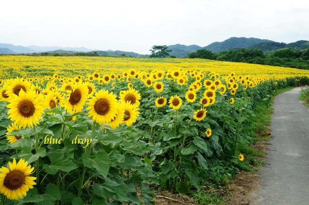 向日葵畑へ続く道