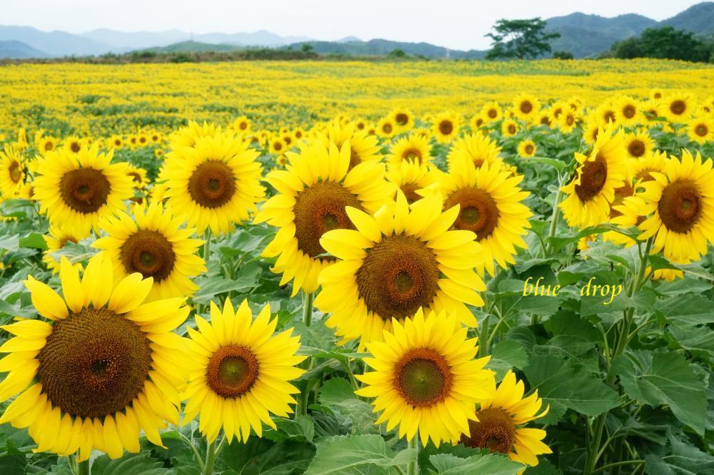 向日葵の咲く丘