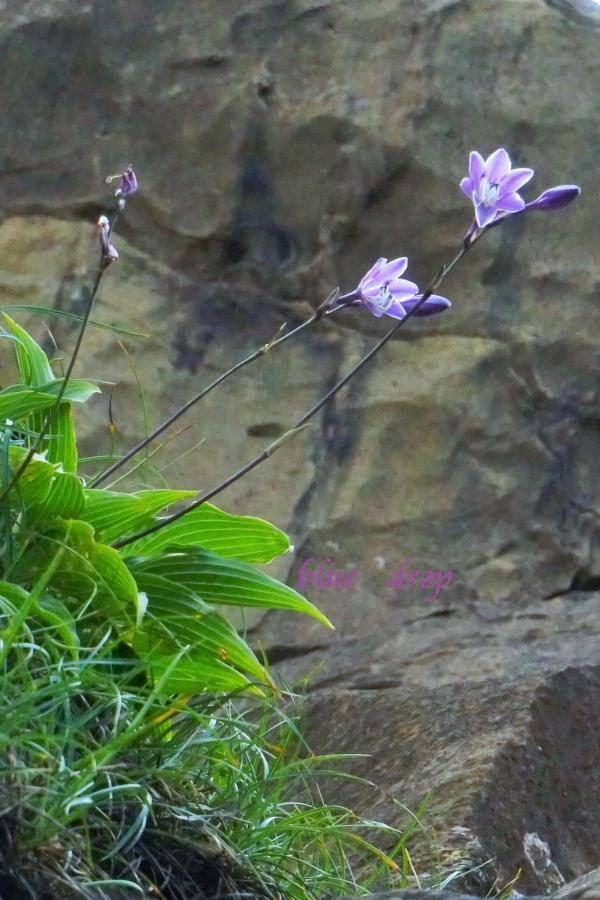岩場に咲く花*