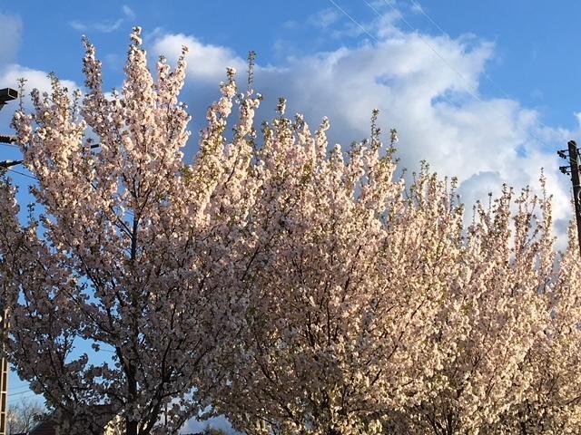 パリの春と桜とコロンバ