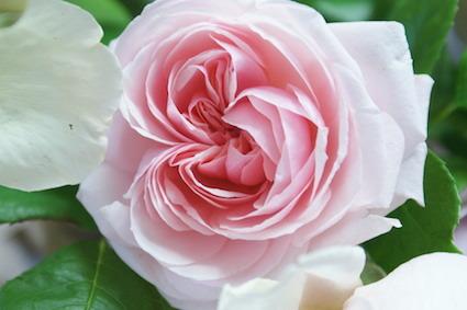 180502薔薇1