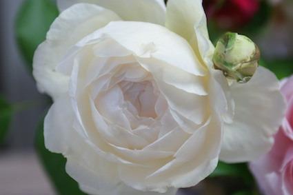 180502薔薇2