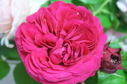 180502薔薇3