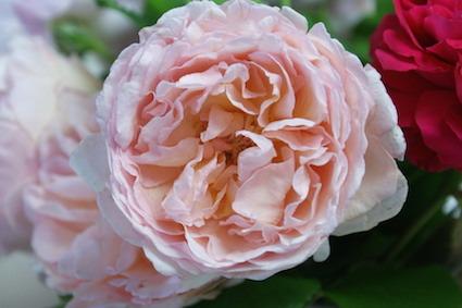 180502薔薇4