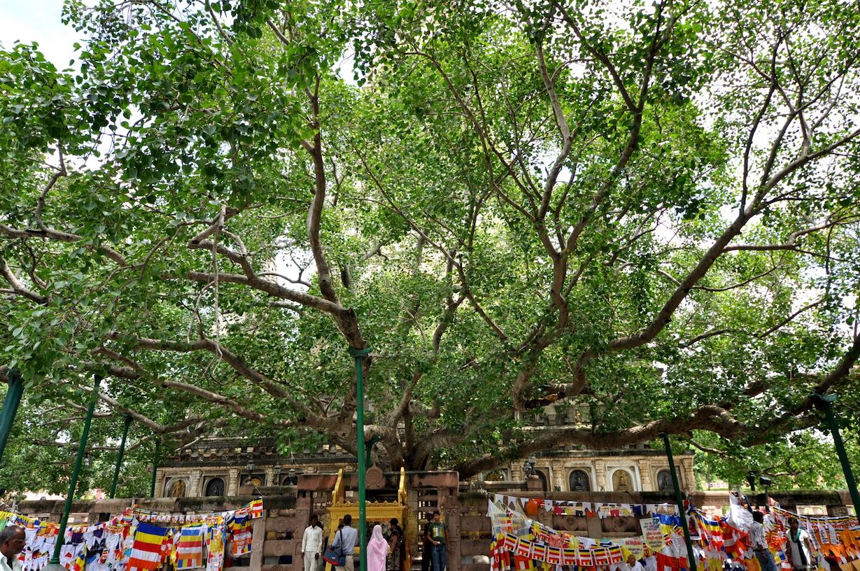bodhi-tree-bodhgaya.jpg