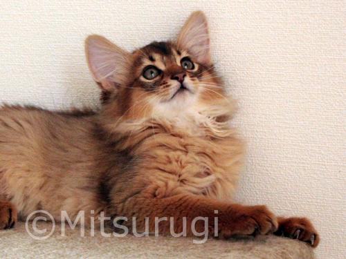somali ruddy kitten
