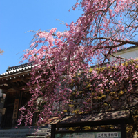sanzenin-sakura.jpg