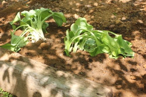 花壇にギボウシ