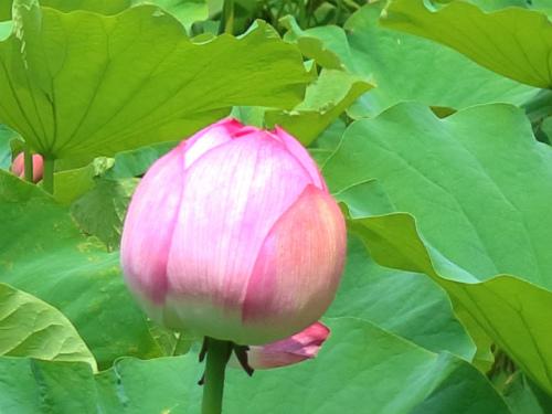 8月見ごろな蓮池を見に行く光明寺と鶴岡八幡宮・鎌倉ポタリング