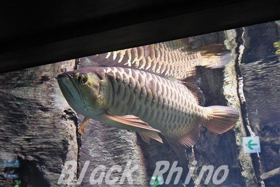 アジアアロワナ01 サンシャイン水族館