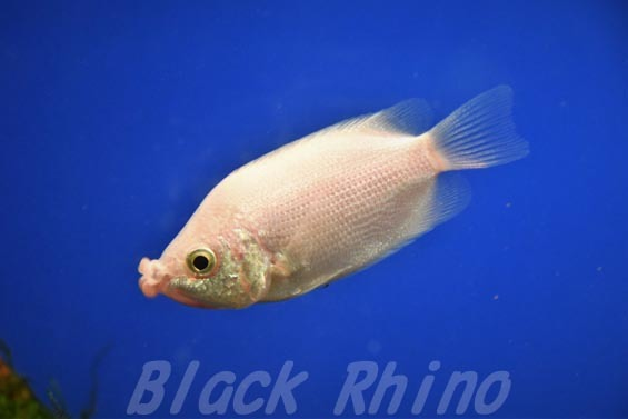 キッシンググラミー01 サンシャイン水族館