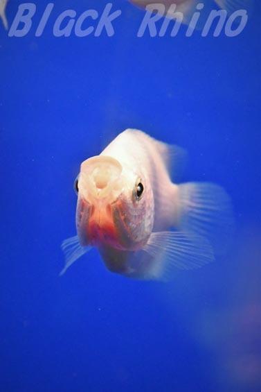 キッシンググラミー02 サンシャイン水族館