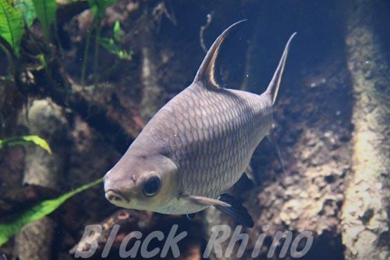 シルバーシャーク01 サンシャイン水族館