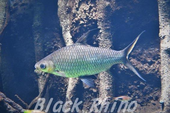 シルバーシャーク02 サンシャイン水族館