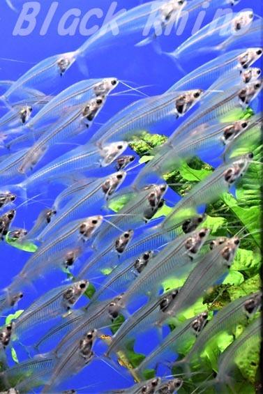 トランスルーセントグラスキャットフィッシュ01 サンシャイン水族館