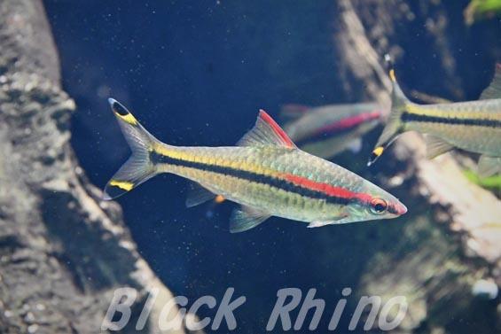 レッドライントーピードバルブ01 サンシャイン水族館