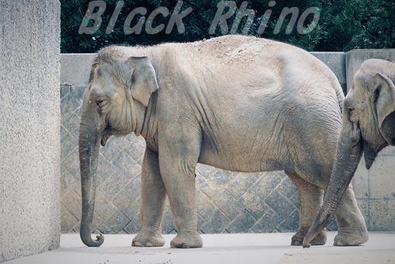 インドゾウ 美代01 浜松市動物園