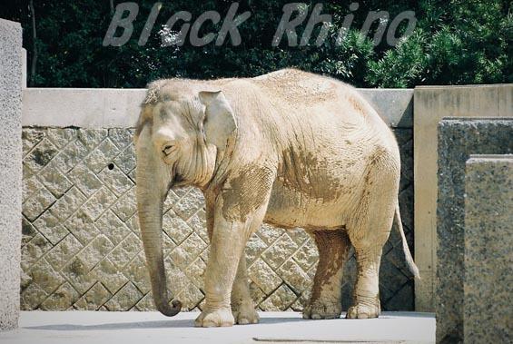 インドゾウ 美代02 浜松市動物園
