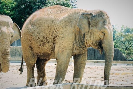 インドゾウ 美代03 浜松市動物園