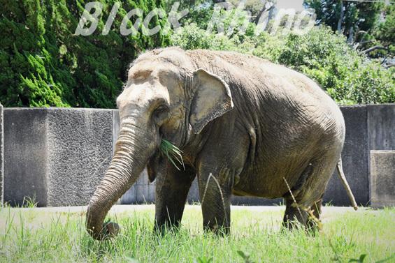 インドゾウ 浜子04 浜松市動物園