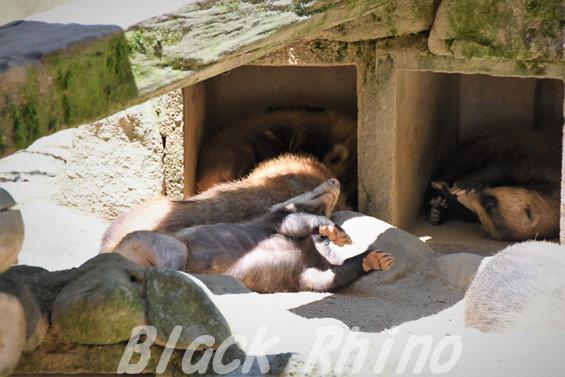 ニホンアナグマ02 安佐動物公園