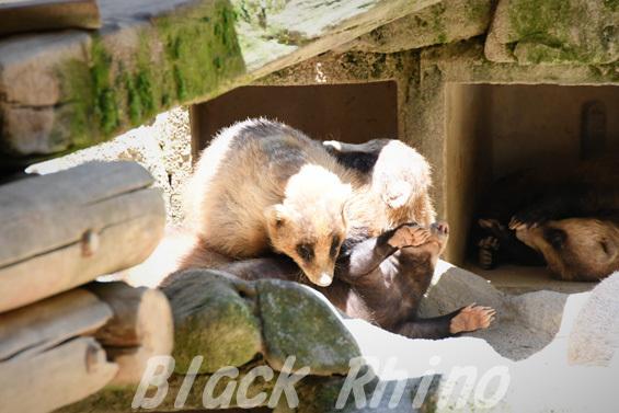 ニホンアナグマ03 安佐動物公園