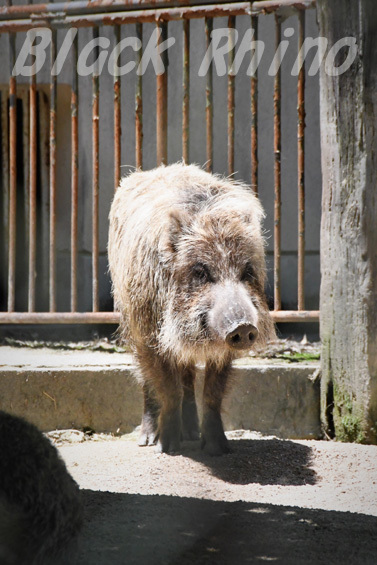 ニホンイノシシ02 安佐動物公園