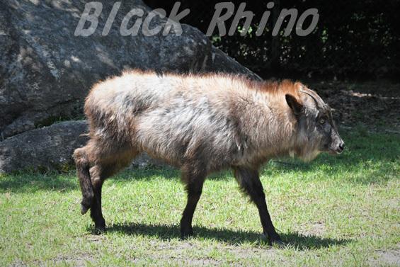 ニホンカモシカ02 安佐動物公園