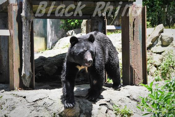 ニホンツキノワグマ01 安佐動物公園