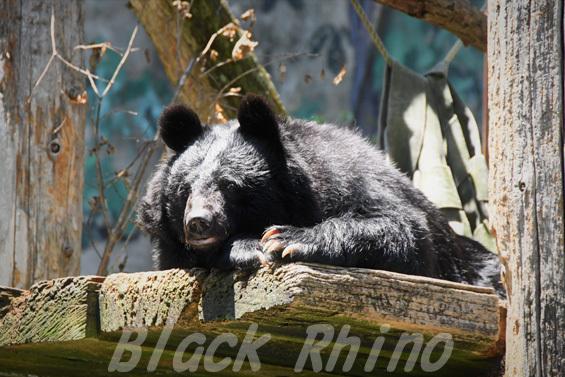 ニホンツキノワグマ02 安佐動物公園
