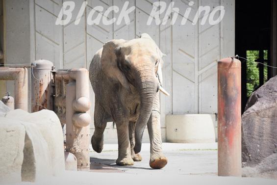 アフリカゾウ アイ01 安佐動物公園