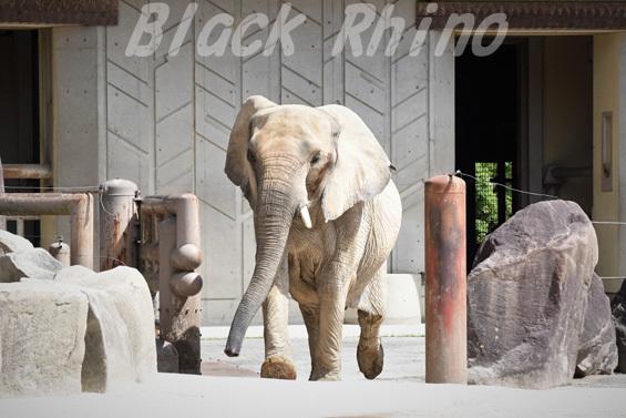 アフリカゾウ アイ02 安佐動物公園