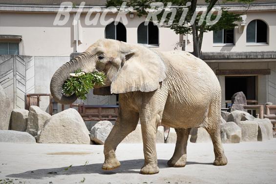 アフリカゾウ アイ03 安佐動物公園