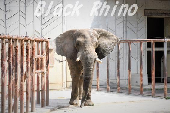 アフリカゾウ タカ01 安佐動物公園
