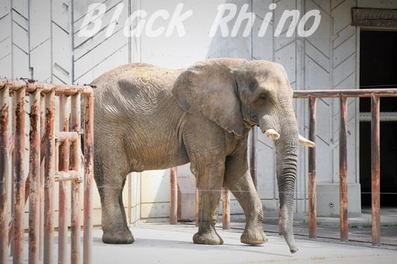 アフリカゾウ タカ02 安佐動物公園